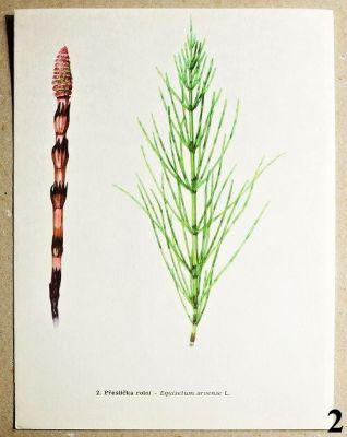 atlas rostlin přeslička rolní