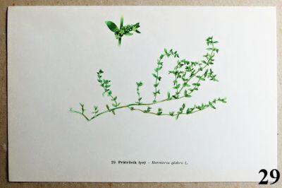 atlas rostlin průtržník lysý