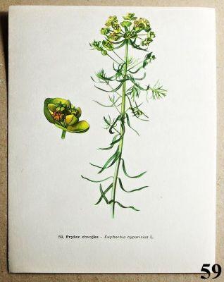 atlas rostlin pryšec chvojka
