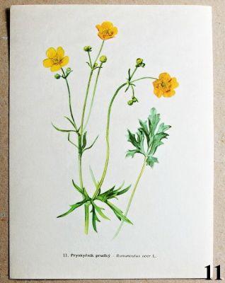 atlas rostlin pryskyřník prudký