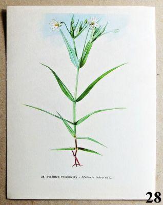 atlas rostlin ptačinec velkokvětý