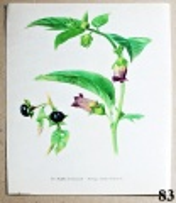 atlas rostlin rulík zlomocný