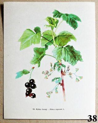 atlas rostlin rybíz černý