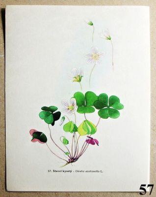 atlas rostlin šťavel kyselý