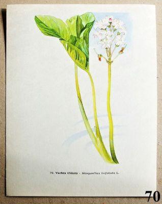 atlas rostlin vachta třílistá
