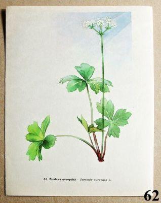 atlas rostlin žindava evropská
